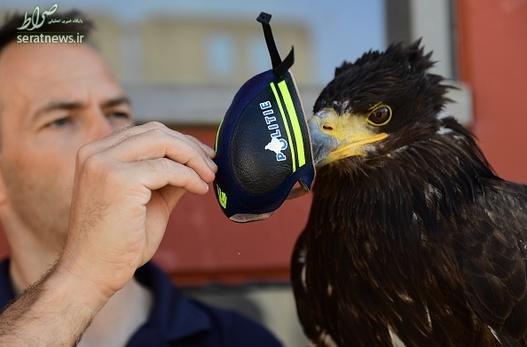 آموزش عقاب ها,شکار پهپاد های جاسوس