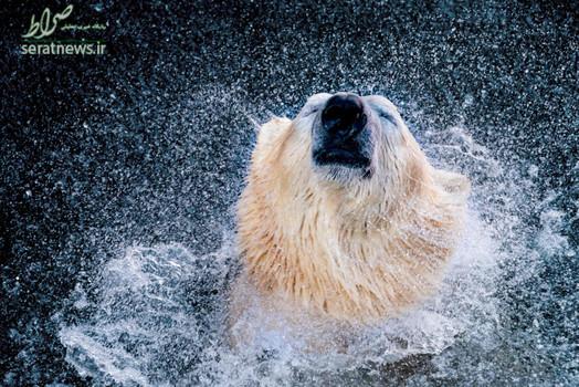 یک خرس قطبی در باغ وحش هانوفر آلمان