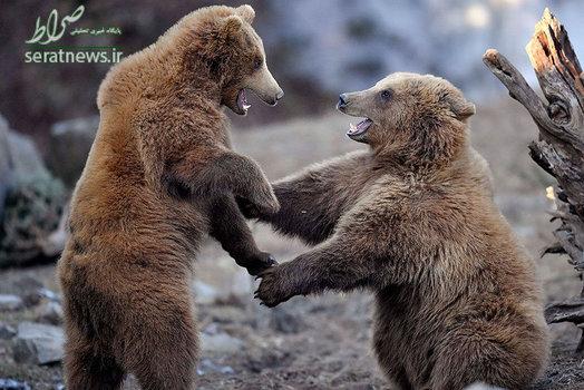 دو خرس قهوه ای در حال بازی کردن در آب و هوای سرد و آفتابی زمستان - باغ وحش گلزنکیرشن، آلمان