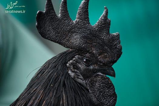 خروسی نادر و کمیاب به رنگ سیاه , خروسی نادر به رنگ سیاه , خروسی به رنگ سیاه , خروس به رنگ سیاه