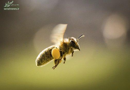 حمل گرده توسط زنبور عسل در فرانکفورت آلمان