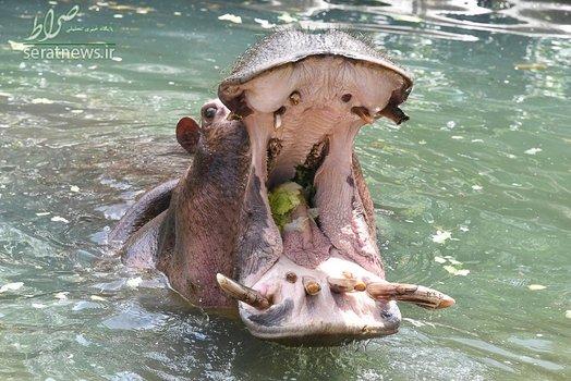 دهان باز شده یک اسب آبی 31 ساله در حال خوردن سالاد در باغ وحش - کارلسروهه، آلمان