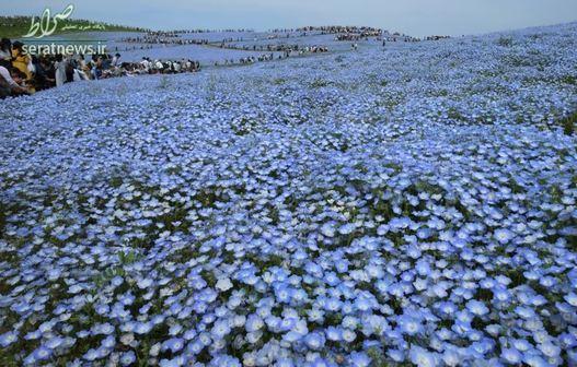 یک دشت گلهای بیشهدوست در پارک ساحلی هیتاچی ژاپن