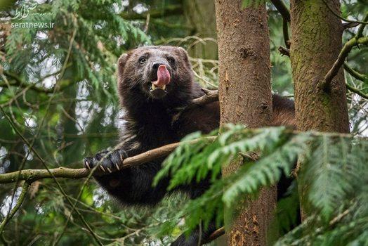 یک خرس روی درخت در منطقه جنگلی فنلاند